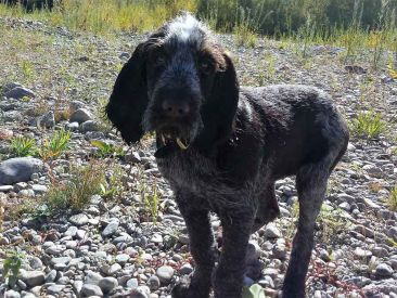 Three Rivers Spinone Dolce River Puppy