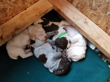 Three Rivers Spinone Puppies 003